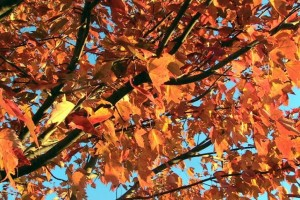 red-maple-tree-in-autumn-fall_w725_h544